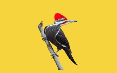 Woodpecker Spirit Animal