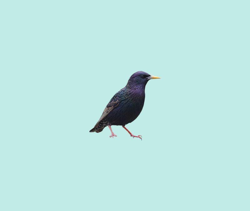 Starling Spirit Animal